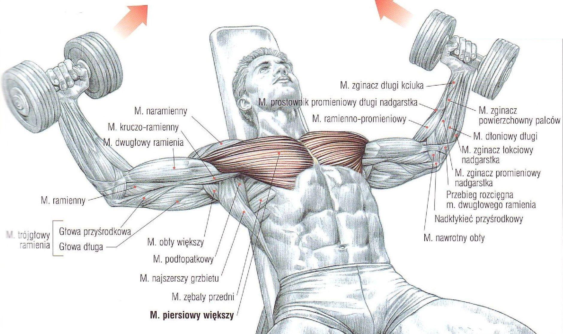 Rozpiętki ze sztangielkami w leżeniu na ławce skośnej – głową do góry ćwiczenia na klate atlas ćwiczeń